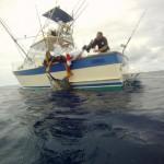 Nice Blue Marlin
