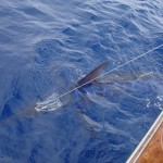 These are the lines of a Blue Marlin