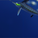 underwater White Marlin