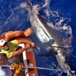 900 pounds Blue Marlin about to be released for Mr. Ola. August