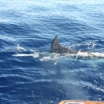 that's the dorsal fin of Blue Marlin
