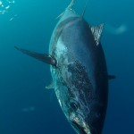 550 pounds bluefin tuna. April