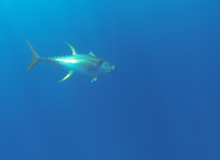 Giant yellowfin tuna underwater