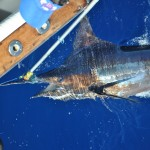 Tired Blue Marlin