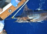 Tired Blue Marlin