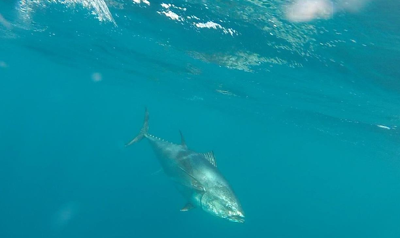 bluefin1