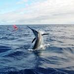 Big Blue Marlin jumping