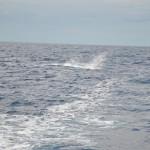 Blue Marlin jumping
