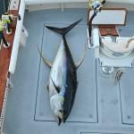 Cow Yellowfin tuna on the deck