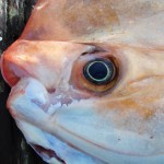 Close look of the mouth of a Louvar fish