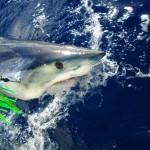 Angry mako shark