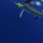 underwater White Marlin