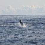 massive Blue Marlin jumping