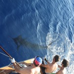 about to release a Blue Marlin