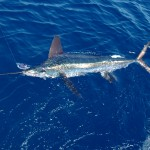 Nice White Marlin