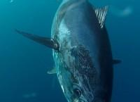 550 pounds bluefin tuna. April
