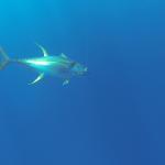 Giant yellowfin tuna underwater