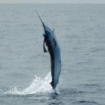 White Marlin jumping