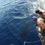 Beatiful shot releasing a Blue Marlin