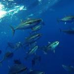Bigeye tuna pose. That was an insane day with 23 of 30 bigeye tunas landed. June