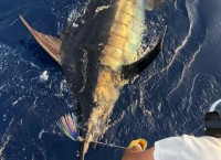 750 pounds blue marlin